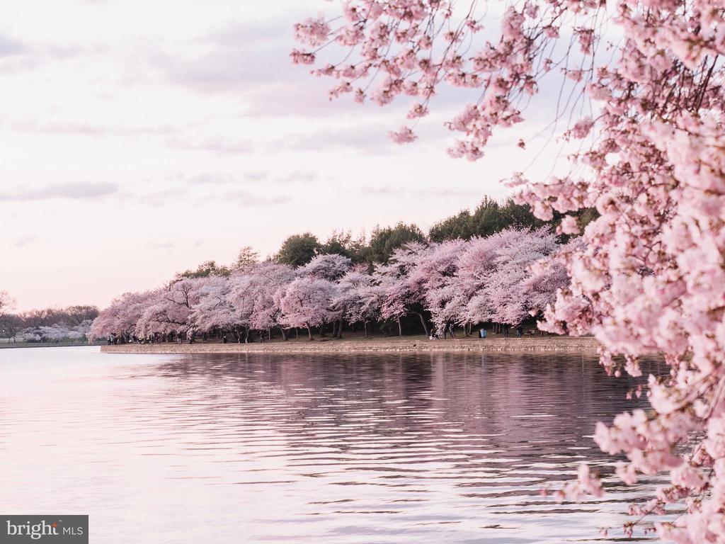Cherry Blossoms on the Tidal Basin. - 1419 N NASH ST, ARLINGTON