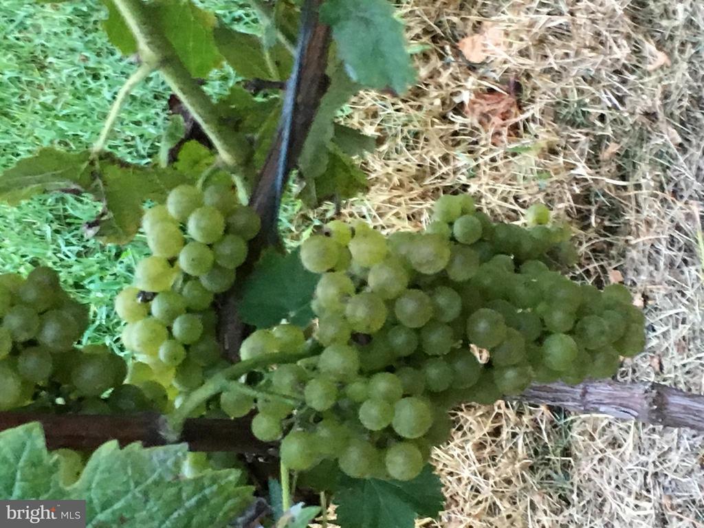 Fruits of the Vine from Eden Try! - 6818 RIVER RD, FREDERICKSBURG