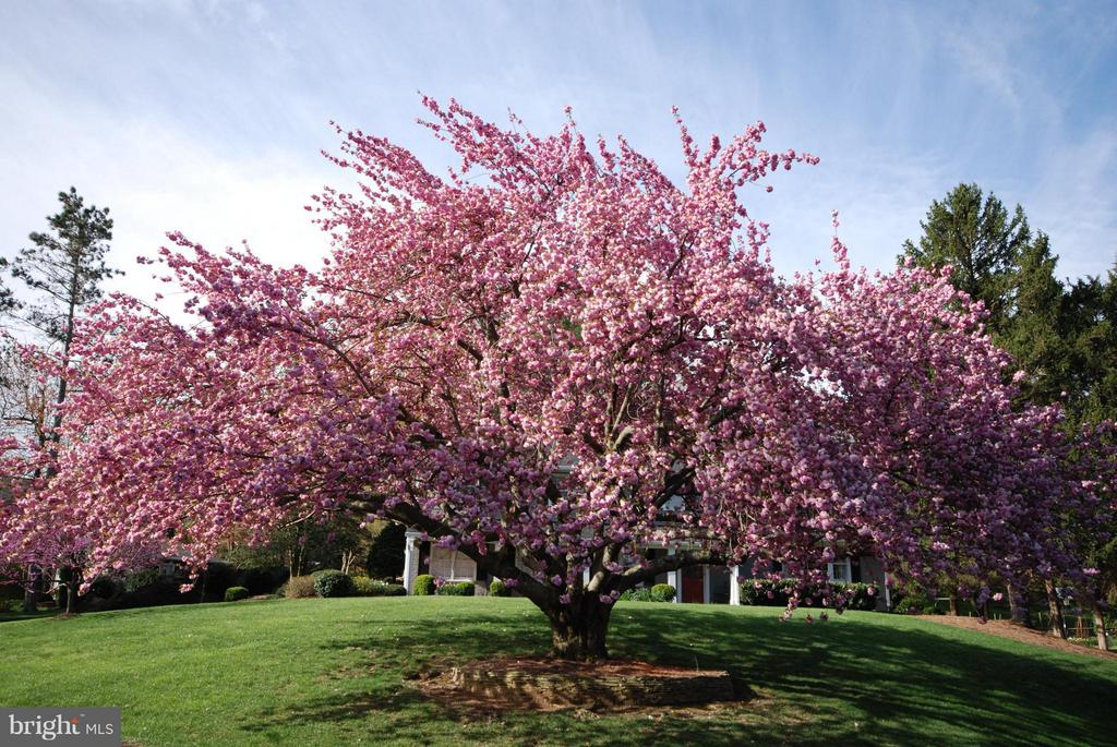 This is the tree in the front yard in spring- WOW! - 1708 JUMPER CT, VIENNA