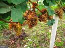 Grapes - 15113 LIBERTY RD, MOUNT AIRY