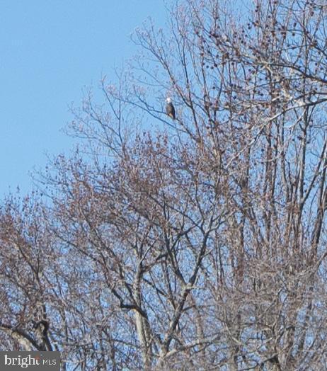 Bald Eagle visiting the neighborhood - 5916 HALLOWING DR, LORTON
