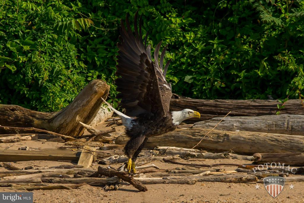 2 resident bald eagles are often seen - 2565 PASSIONFLOWER CT, DUMFRIES