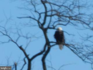 Bald Eagle perched in Front Yard - 918 WADESVILLE RD, BERRYVILLE