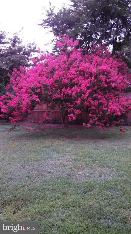 Crepe Myrtle when in bloom. - 922 CROTON DR, ALEXANDRIA