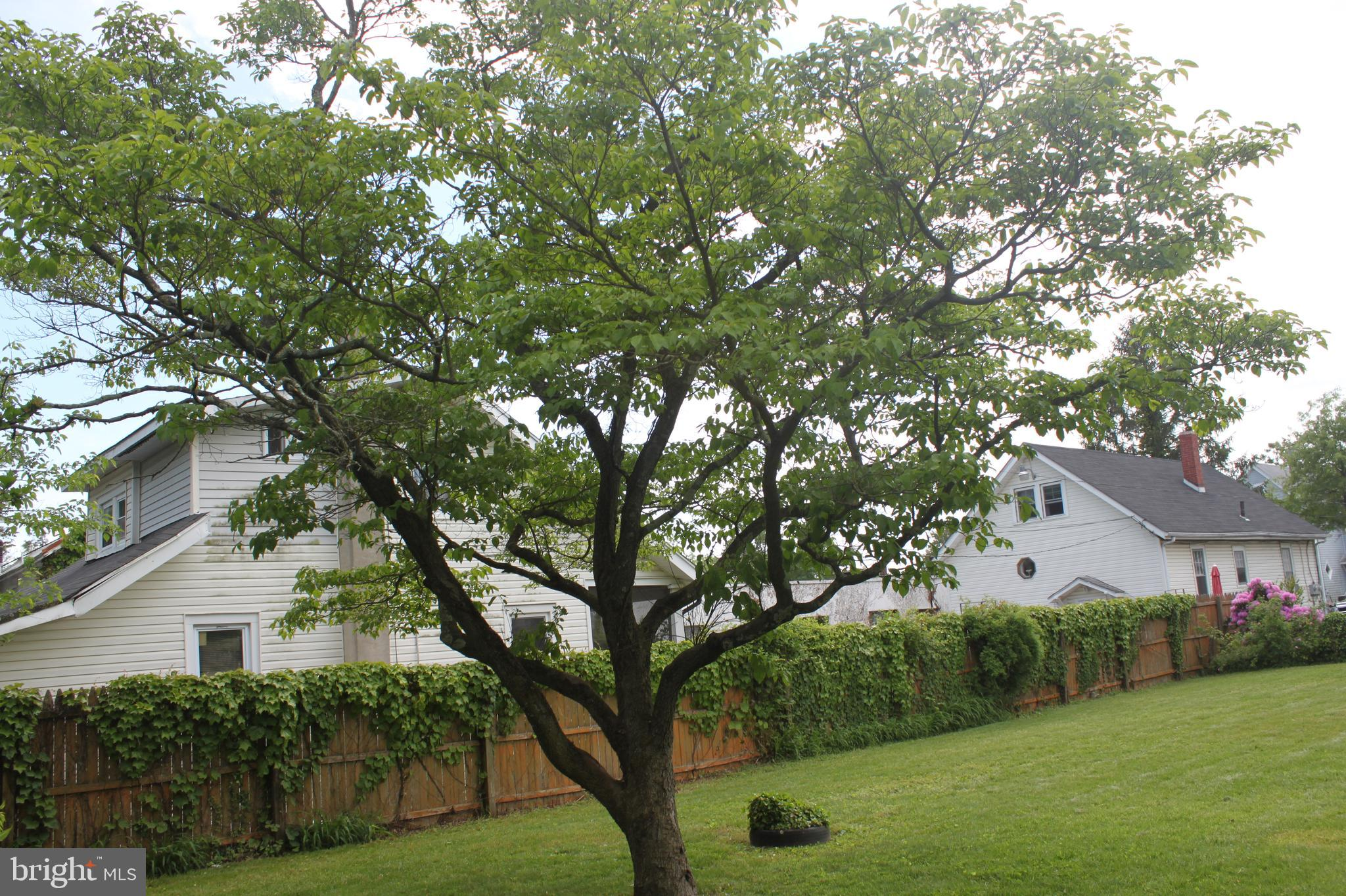 Look at the size of this Dogwood tree