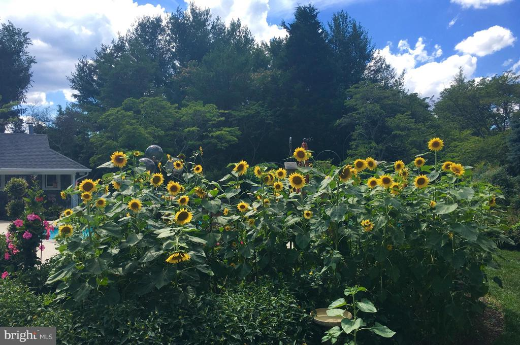 The Sunflowers are in Bloom. - 10114 LAWYERS RD, VIENNA