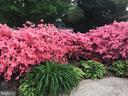 Azaleas in Springtime. - 10114 LAWYERS RD, VIENNA