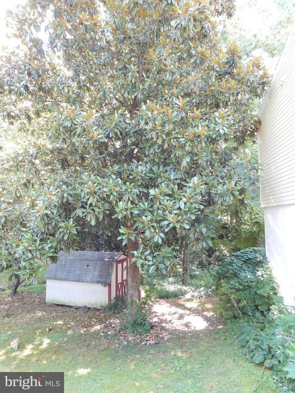 Mature magnolia tree - 6200 MASSAPONAX DR, FREDERICKSBURG