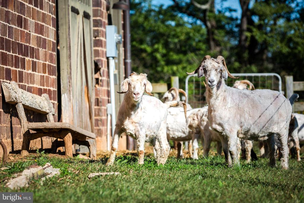 Angora goats - 8394 ELWAY LN, WARRENTON
